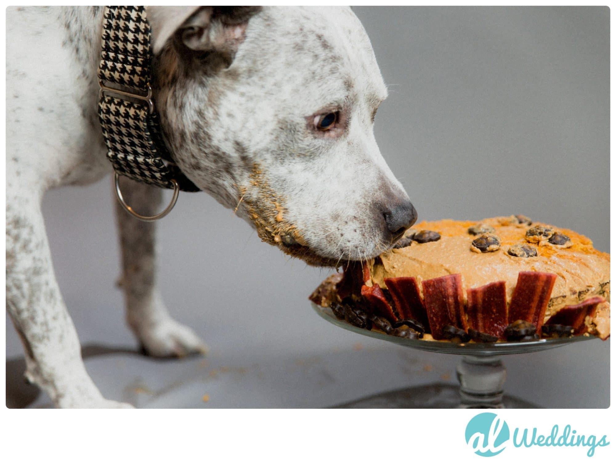 birthday,dog cake,pit bull,studio,